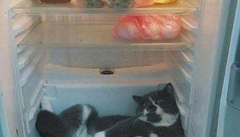 Вашему коту жарко? Засуньте его в холодильник!