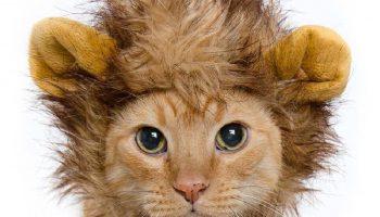 Фото прикол после тренировки котик в наряде льва