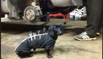 Собака в автосервисе с гаечными ключами на жилетке